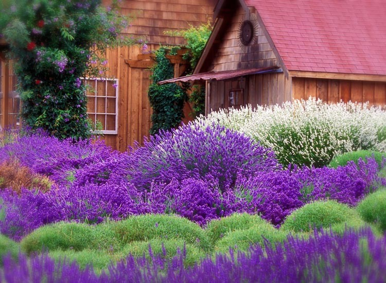WA Lavender Farm 7+ Acres Manf/Retail/Event/VRBO